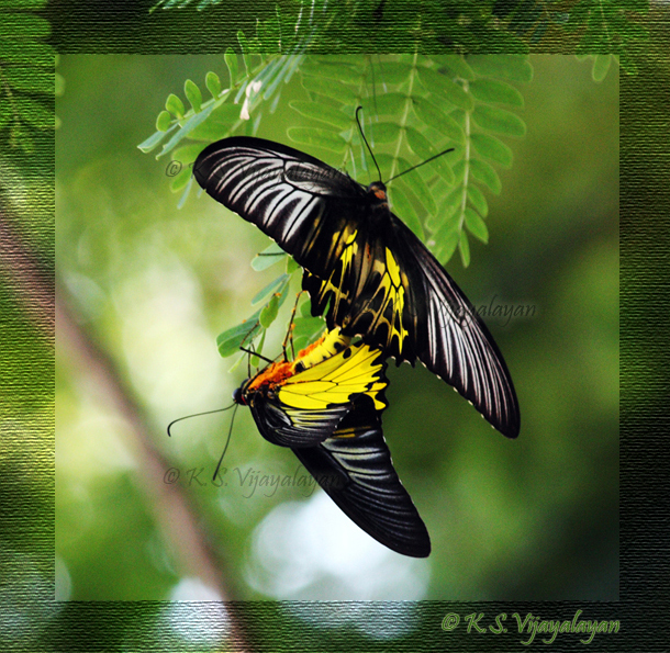 Golden Birdwing Butterflies, Thailand