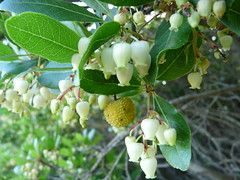 blossom(0.0), shrub(0.0), hardy kiwi(0.0), produce(0.0), fruit(0.0), food(0.0), evergreen(1.0), flower(1.0), tree(1.0), strawberry tree(1.0), plant(1.0), flora(1.0),