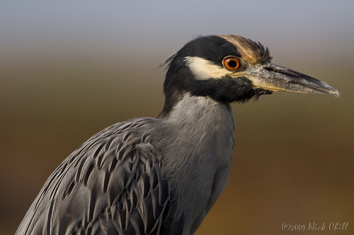 Night Heron Profile