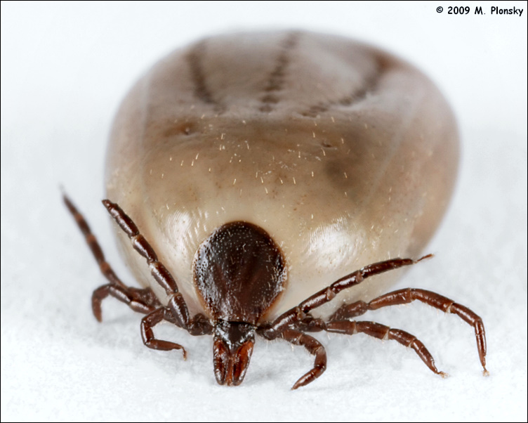 Dog tick vs deer tick engorged - photo#22