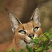 Caracal Smellng Leaves