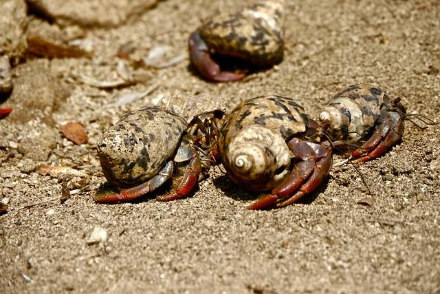 Red Hermit crab