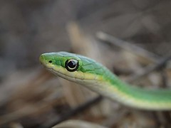 animal, western green mamba, snake, reptile, macro photography, green, fauna, close-up, scaled reptile,
