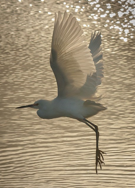 Takeoff of a Snowy Egret in Golden Afternoon @ Don Edwards Regional Park No 3