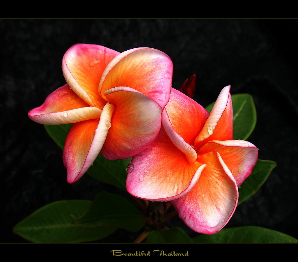 Thailand flowers the plumeria beautiful thailand a photo on thailand flowers the plumeria beautiful thailand izmirmasajfo