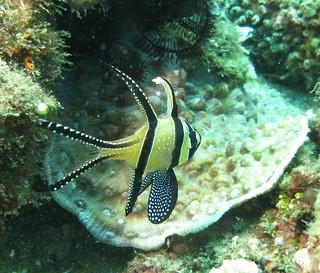 Banggai Cardinal Fish - Pterapogon ...