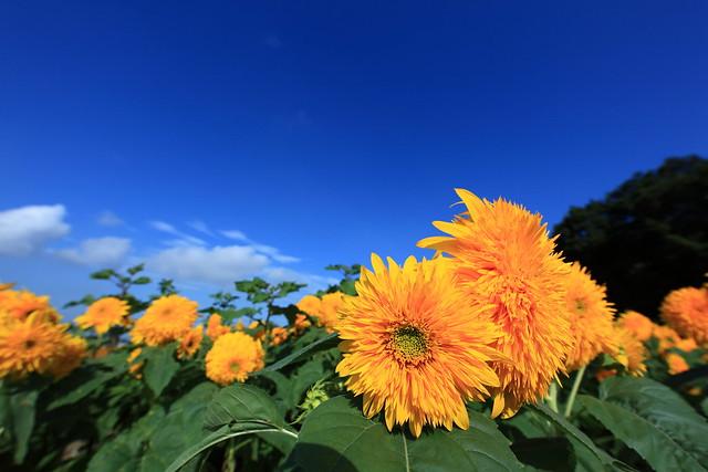 Sunflower / Helianthus / 向日葵(ひまわり)
