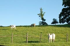 Cows in le Perche