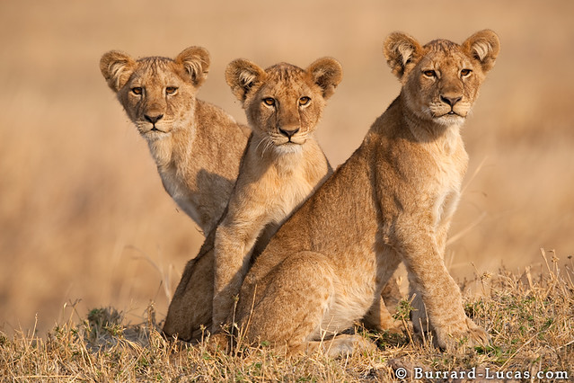 Three Lion Cubs - The Cat Family Inspiring Photography
