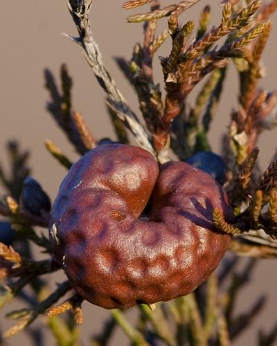 Cedar-Apple Rust Gall