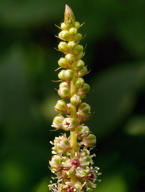 Phytolacca Americana 2 Flickr Photo Sharing
