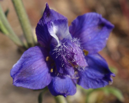 Foothill Larkspur