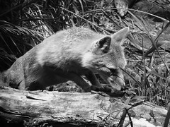 BW Swift Fox