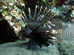 coral reef(1.0), animal(1.0), fish(1.0), marine biology(1.0), fauna(1.0), lionfish(1.0), scorpionfish(1.0), underwater(1.0),