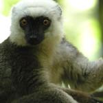 White-headed Lemur (Eulemur albifrons), Masoala National Park, Madagascar