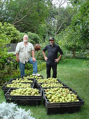 900 pounds of fresh picked Pears