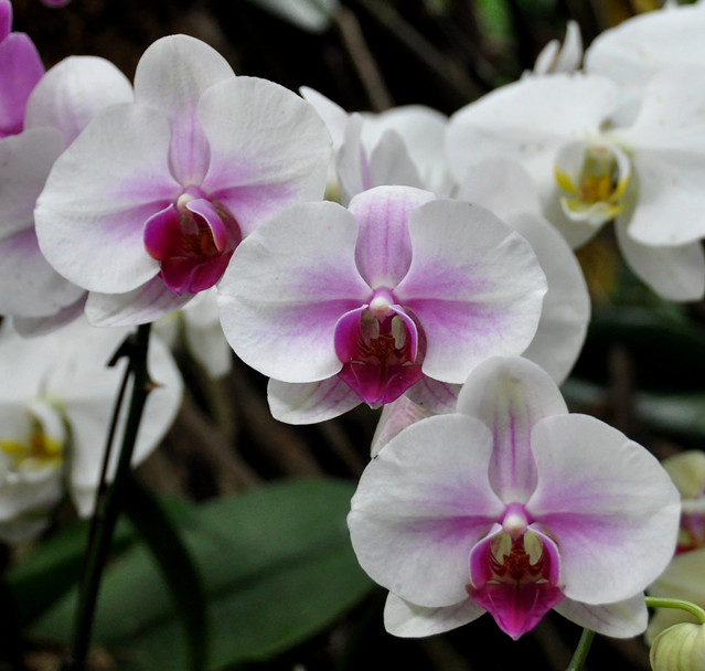 White Orchid Water Pink: Photo