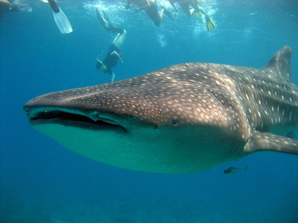 largest whale shark - photo #8