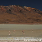 Flamingos Feeding - Salar Tour, Bolivia