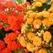 Vermelho/Amarelo I