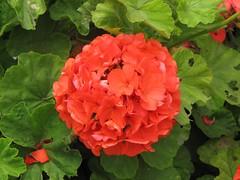 shrub(0.0), annual plant(1.0), flower(1.0), leaf(1.0), plant(1.0), geraniales(1.0), petal(1.0),