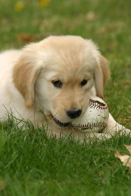 Happy Puppy Playing Golden Retriever