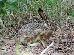 animal(1.0), hare(1.0), rabbit(1.0), domestic rabbit(1.0), pet(1.0), fauna(1.0), wood rabbit(1.0), rabits and hares(1.0), wildlife(1.0),
