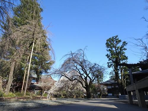 宝幢寺の梅、しだれ桜、ヒマラヤスギ