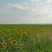 Sunflower Field, West Slovakia