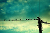 sixteen starlings by Dan Morgan1