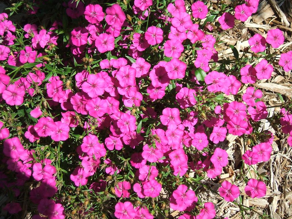 """Dianthus barbatus, """"Sweet William"""""""
