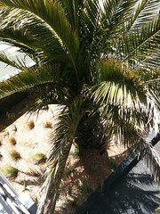 borassus flabellifer(0.0), coconut(0.0), produce(0.0), fruit(0.0), food(0.0), date palm(1.0), arecales(1.0), branch(1.0), leaf(1.0), tree(1.0), elaeis(1.0),