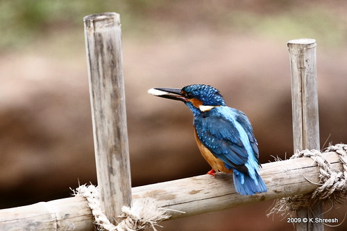 Kingfisher With Fish..2