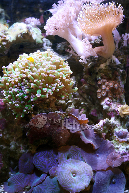 how to grow frogspawn coral