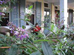 Butterfly Bush 2