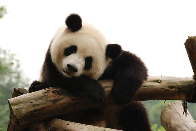 lazy panda :) | Sichuan, China | By: Kuba Abramowicz ...