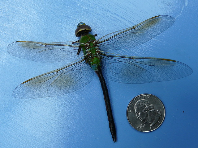Giant dragonfly - photo#2