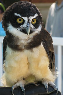 Are you referring to me?  spectacled owl