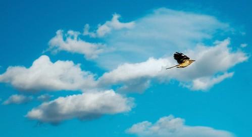 bird blueskies fluffyclouds birdonflight nikond300 ericaustria nicefallday