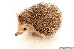 Israeli hedgehog by ign0me