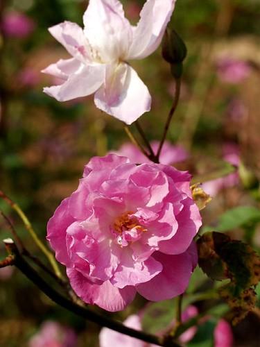 Rosa_camellia_rose1