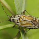 hölgymálpoloska - Hoplomachus thunbergii