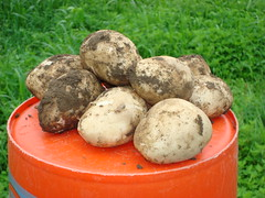 Expected New Potatoes but these are good size to harvest.