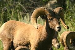 animal(1.0), sheeps(1.0), sheep(1.0), argali(1.0), mammal(1.0), horn(1.0), barbary sheep(1.0), herd(1.0), fauna(1.0), bighorn(1.0), wildlife(1.0),