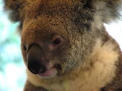 nose, animal, snout, mammal, koala, fauna, close-up, wildlife,
