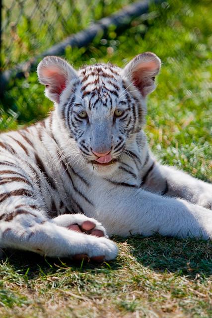 tiger cougars personals Menu.