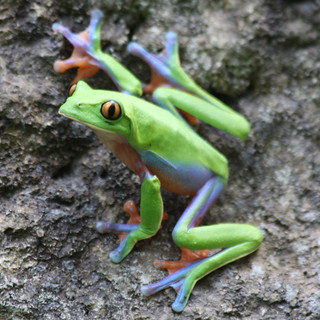Blue-sided Tree Frog (Winner Frog Contest/CPA-Gold)