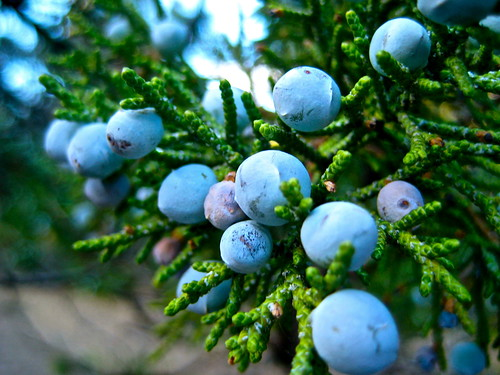 Juniper Berries by Tranquillium