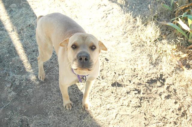 Boxer dog shar pei awesome dog flickr photo sharing