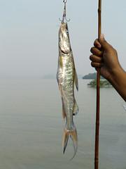 northern pike(0.0), bass(0.0), perch(0.0), animal(1.0), fish(1.0), fishing(1.0), jigging(1.0),